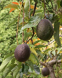Avocado fruit and foliage, Huntington Library, California