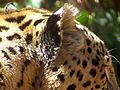 Persian Leopard Ears.JPG