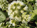 Petasites albus flowers.jpg