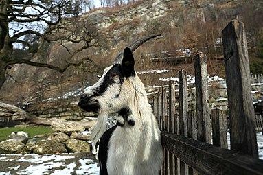 Pfauenziege Zoo Salzburg 2014.jpg