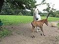 Pferdezucht - panoramio.jpg