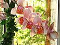 Phalaenopsis cv. (a) 01.JPG