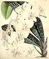 Phalaenopsis schilleriana - Curtis' 91 (Ser. 3 no. 21) pl. 5530 (1865).jpg