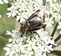 Phasia hemiptera (Shieldbug Fly) - male - Flickr - S. Rae (2).jpg