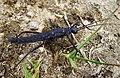 Phasmatodea, family Pseudophasmatidae, tribe Anisomorphini, Genus Paranisomorpha . Probably Montane Stick Insect, adult female (Paranisomorpha coriacea) - Flickr - gailhampshire.jpg