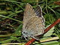 Phengaris teleius - Scarce large blue - Голубянка телей (40325206854).jpg
