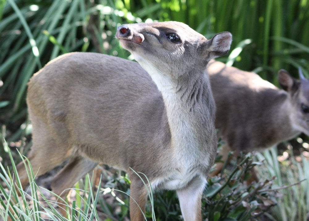 The average adult size of a Blue duiker is  (2' 4