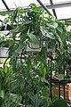 Philodendron pertusum 4zz.jpg