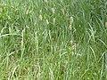 Phleum alpinum (3808379415).jpg