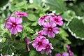 Phlox Astoria Cherry Blossom 0zz.jpg