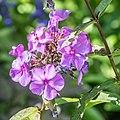 Phlox paniculata 'Blue Paradise' in Jardin des 5 sens (2).jpg