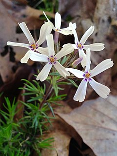 <i>Phlox subulata</i> species of plant