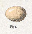 Phoenicurus schisticeps egg 1889.jpg