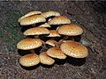 Pholiota squarrosa (30358541224).jpg
