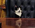 Photograph of Socks the Cat Sitting Behind the President's Desk in the Oval Office- 01-07-1994 (6461515323) (cropped1).jpg