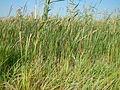 Phragmites australis australis (20915185149).jpg