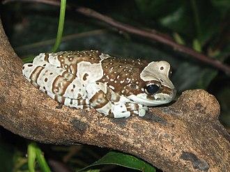 Mission golden-eyed tree frog - Adult