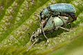 Phyllobius.pomaceus3.-.lindsey.jpg