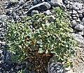 Physalis crassifolia 4.jpg