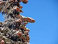 Picea glauca albertiana conecrop.jpg