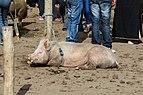 Pig in Otavalo 02.jpg