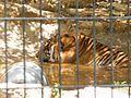 PikiWiki Israel 15804 Tiger.jpg