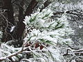 PikiWiki Israel 34005 Pine branch in snow.JPG