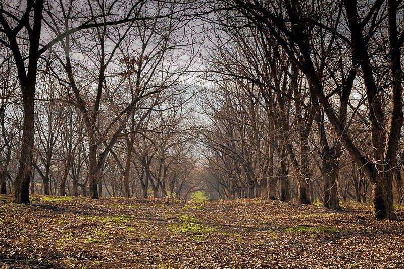 מטע עצי פקאן
