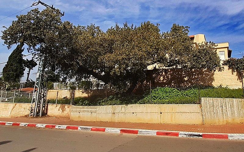 עץ אלון התבור בהוד השרון