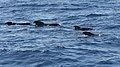 Pilot whales 3 (400627254).jpg