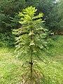 Pinales - Wollemia nobilis - 1.jpg