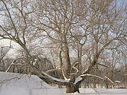 Pinchot Sycamore in winter, Simsbury, CT - January 15, 2011