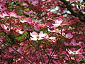 Pink-dogwood-flower-sunlight - West Virginia - ForestWander.jpg
