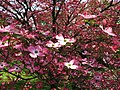 Pink-dogwood-tree-inside - West Virginia - ForestWander.jpg
