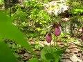 File:Pink lady's slipper orchids, Pennsylvania.webm