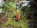 Pinus contorta 8138.jpg