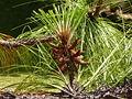 Pinus devoniana 01.jpg