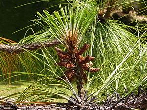 Conifers of Mexico - Pinus devoniana at Hackfalls Arboretum, New Zealand