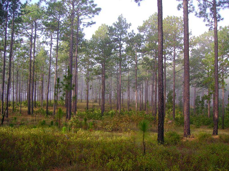File:Pinus palustris Carolina Sandhills NWR.jpg