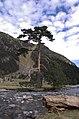 Pinus sylvestris Pyrenees.jpg