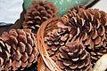 Pinus tadea cones Arlington.jpg
