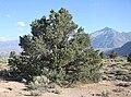 Pinyon pine Pinus monophylla in sagebrush.jpg