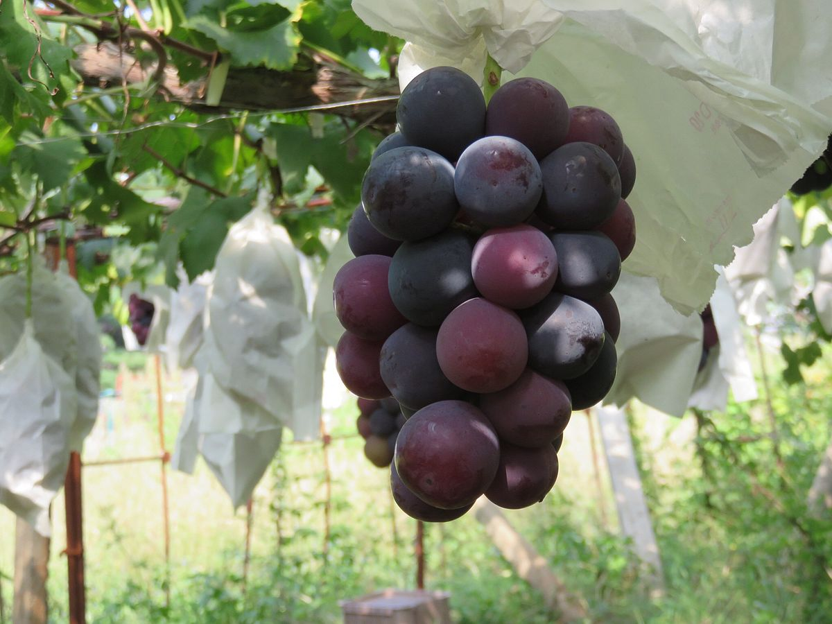 Grapes beauty: photos, description of the variety, reviews 64