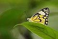 Pioneer white butterfly.jpg
