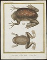 Pipa americana - 1700-1880 - Print - Iconographia Zoologica - Special Collections University of Amsterdam - UBA01 IZ11500265.tif