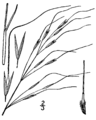 Piptochaetium avenaceum (as Stipa avenacea) BB-1913.png