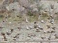 Plain Mountain Finch (Leucosticte nemoricola) (48332332002).jpg