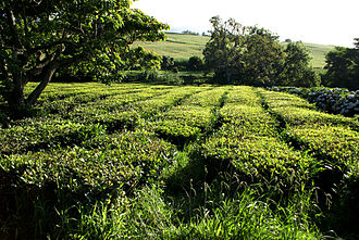Green tea - The tea fields in the foothills of Gorreana, Azores Islands, Portugal: the only European region other than Georgia to support green tea production.