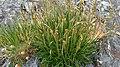 Plantago maritima plant (167.jpg