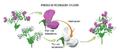 Planteamiento experimental de Mendel.png